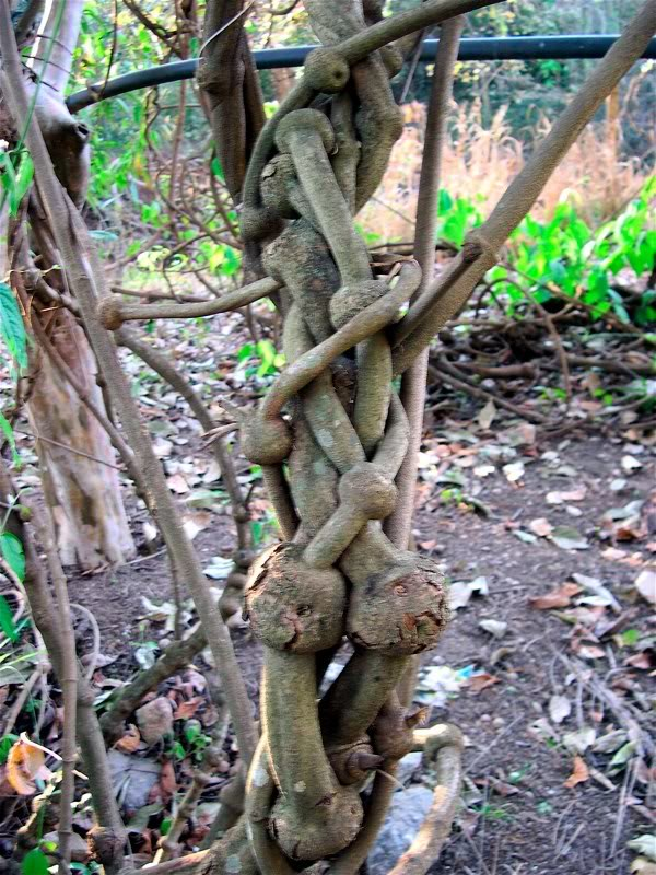 the Ayahuasca vine