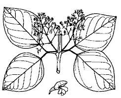 tynnanthus panurensis